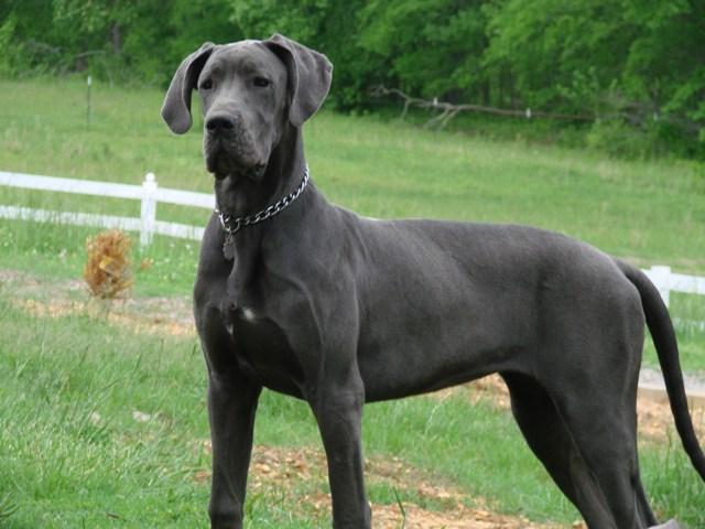 Gran-Danés-perro